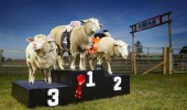 Lamborghini - Most Races Won By A Sheep 1-022-1