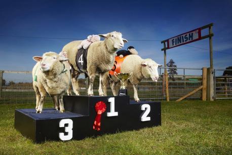 Lamborghini - Most Races Won By A Sheep 1-022-1