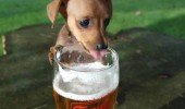dog-drinking-beer