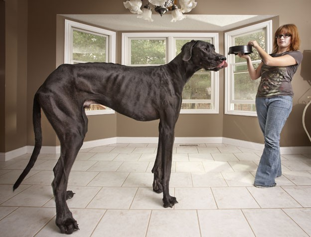 guinness_world_records_tallest_dog_zeus