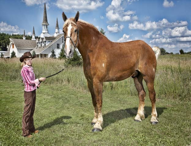 guinness_world_records_tallest_horse_big_jake