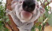 Koala nu este un urs!