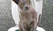 Știai că și pisica ta poate învața să-și facă nevoile la toaletă?