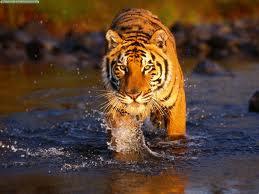 animalzoo_tigru
