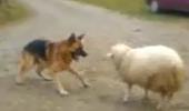 Un lup si o oaie: Au fost cei mai buni prieteni, dar s-au certat pentru o minge