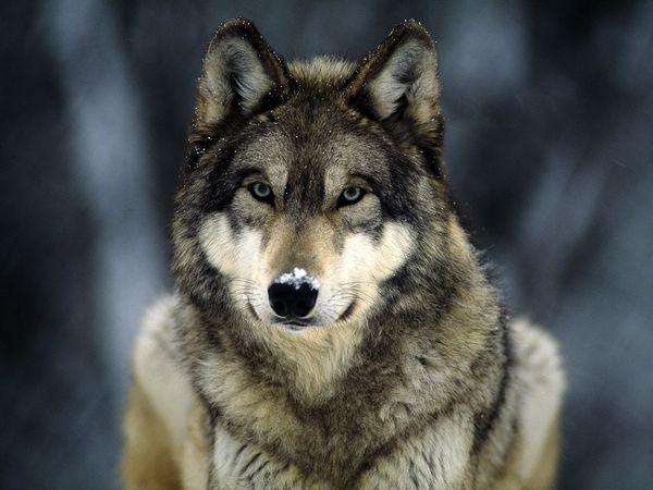 Stiai ca lupul ramane cu sufletul lui pereche pana la moarte?