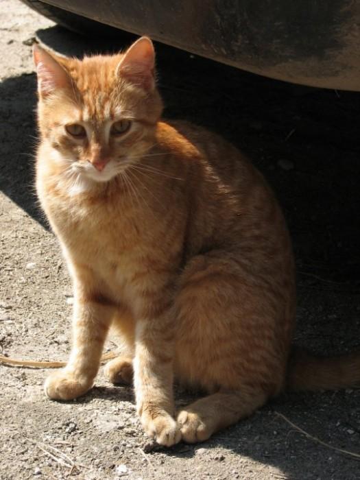 pisica Orange