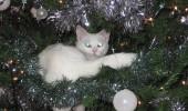 pisica in brad 3