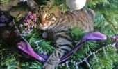 pisica in brad f