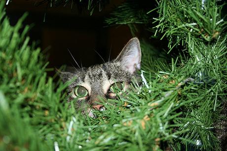 poze-pisici-brad 4