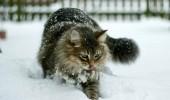 tabby-snow-cat-thumb-autox477-94841