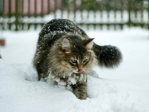 tabby-snow-cat-thumb-autox477-94841