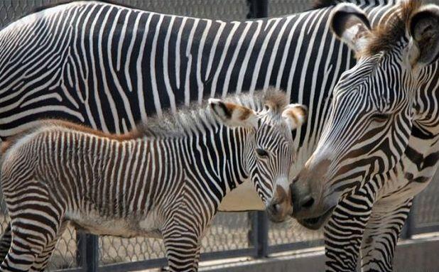 11 zebra