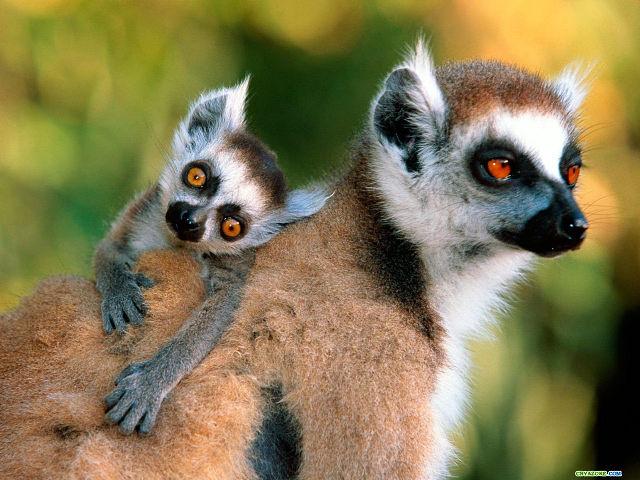 17 lemur