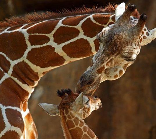 18 girafa