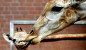 19 girafa