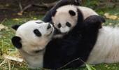 20 panda