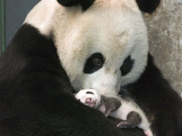 21 panda