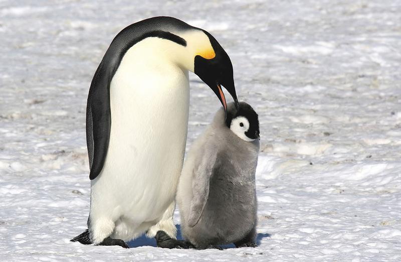 36 pinguin
