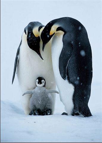 37 pinguin