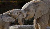 CLIPELE DRAMATICE care au uimit o lume întreagă. Reuşeşte puiul de elefant să îşi salveze mama? | VIDEO EMOŢIONANT