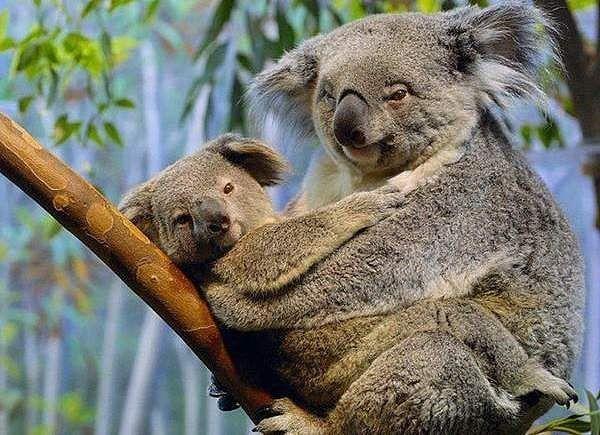 45 koala