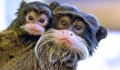 7 maimuta