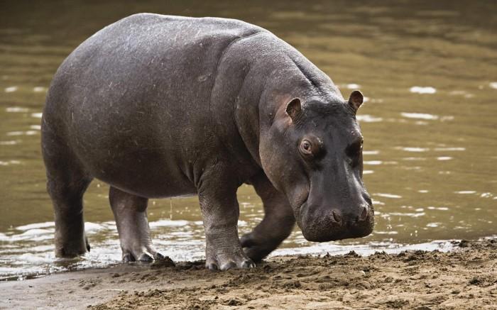 Hippo-Wallpaper-hippos-24491034-1680-1050
