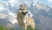 Lone-Czechoslovakian-Wolfdog-1