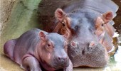 Mom-and-baby-hippo-hippos-24490340-500-366