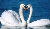 Fidelitatea absolută nu există? S-a demonstrat că și lebedele își înșeală partenerii!