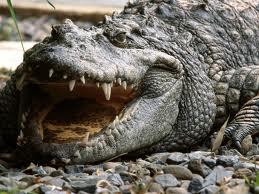 """Cât de """"fermecători"""" pot fi crocodilii?"""