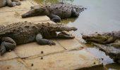 Mii de crocodili au scăpat dintr-o crescătorie din Africa de Sud