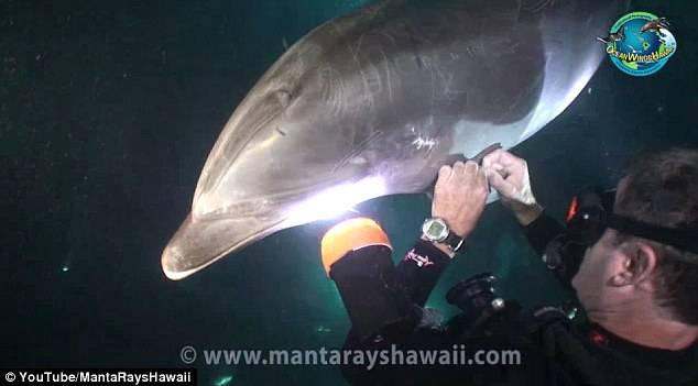 Un delfin în plasă i-a cerut ajutorul unui scafandru, iar apoi a aşteptat cuminte să fie eliberat