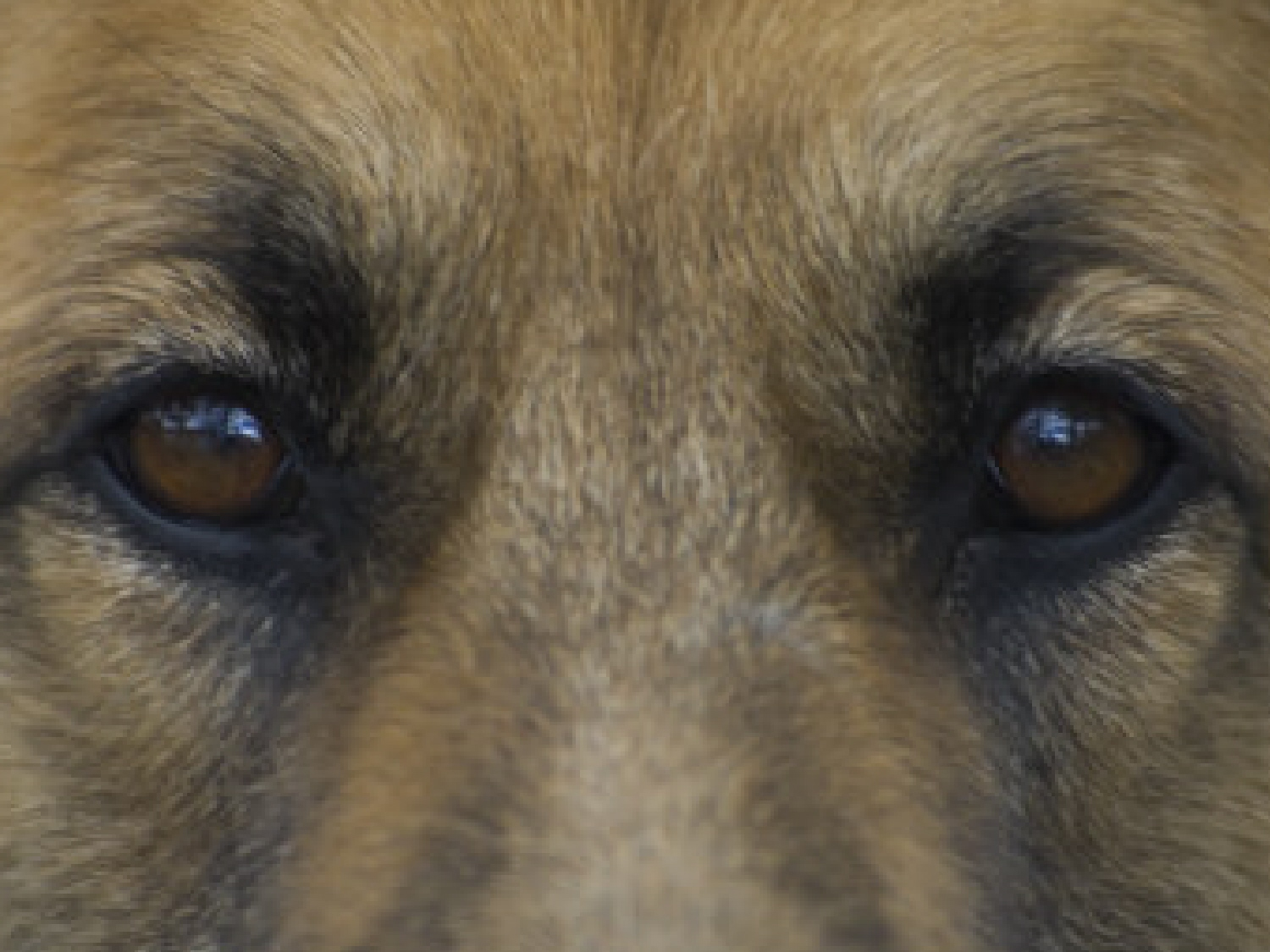 dogs-eyes-1a