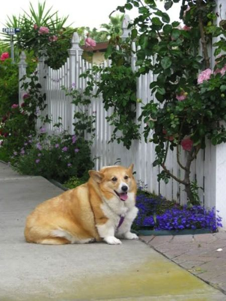 picture-dog-obese