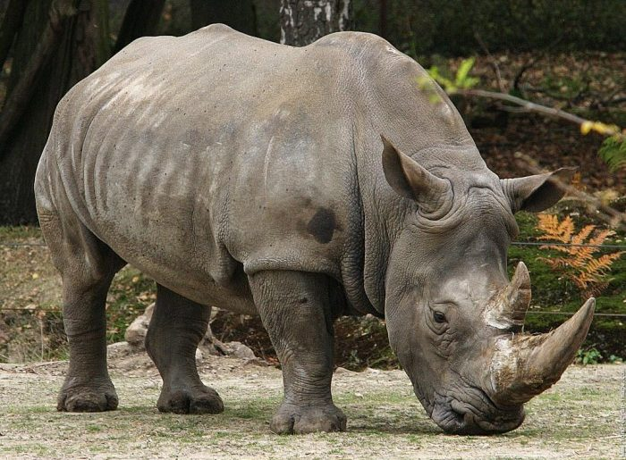 Salvati rinocerii din mainile braconierilor!