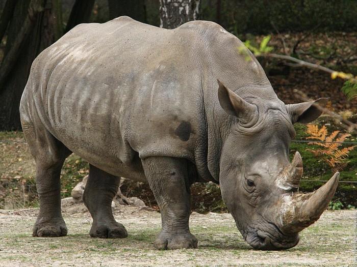 Îi poate salva matematica pe rinoceri de la dispariţie!?