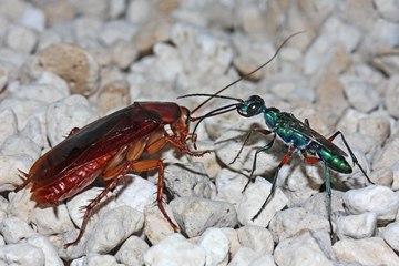 CULMEA CURĂŢENIEI. Larvele unei specii de viespe dezinfectează gândacii înainte să-i consume