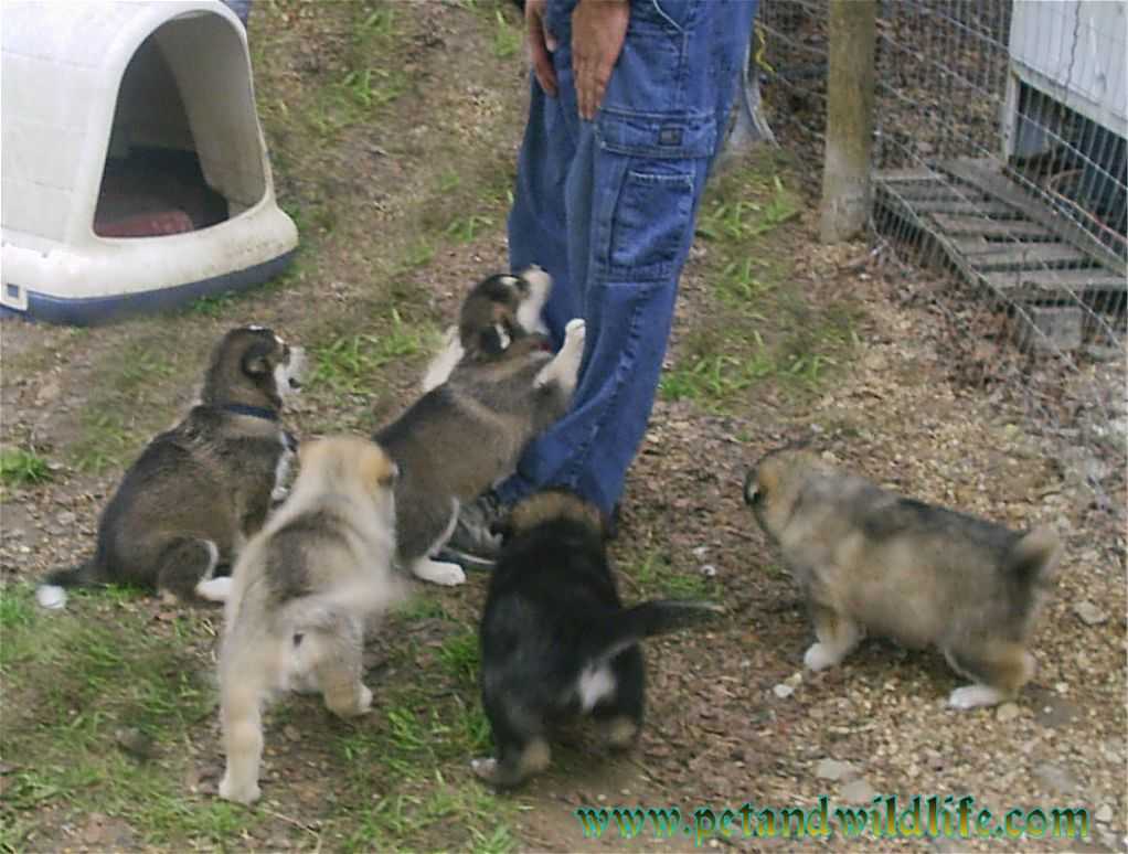 wolf-dog-pictures-2
