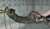 Cat-baths-cats-84147_600_398