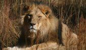 A murit batranul leu Cezar, salvat in urma cu 4 ani de la gradina zoo Tecuci