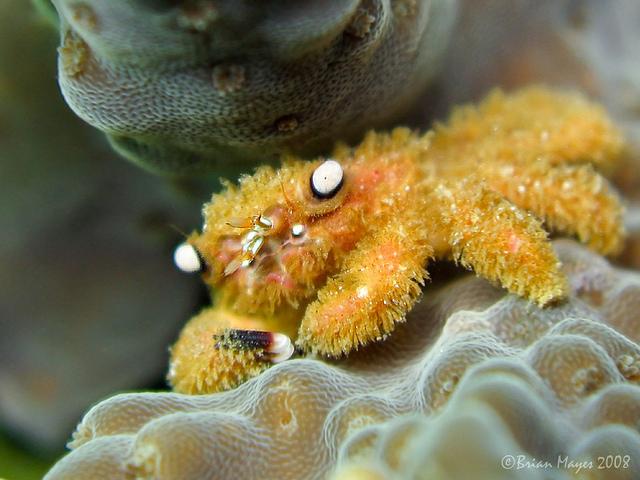 Crabul păros poate încetini albirea coralilor australieni