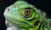 Vrei o Iguană? Ai grijă! Reptilele sunt purtătoare de Salmonella