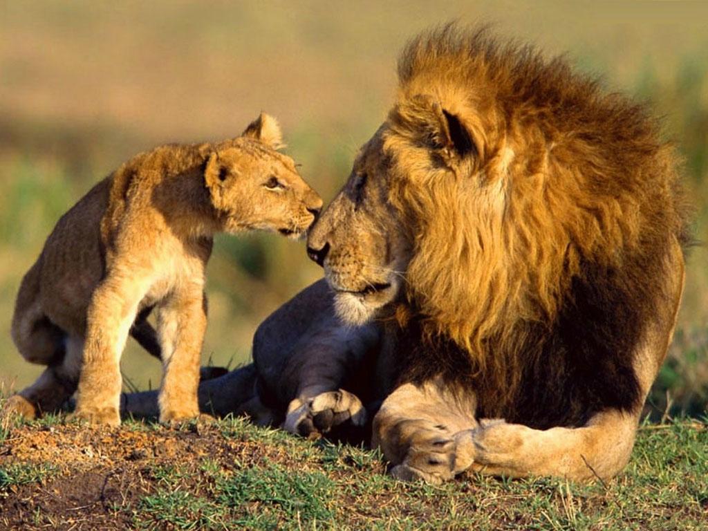 Leii din Africa în pericol de dispariţie?