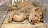 Uite cum au fost luati leii lui Nutu Camataru