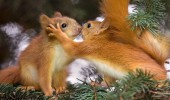 Pair of baby red squirrels appear to share a kiss-1593656