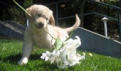 Puppy-Carries-flowers