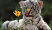Tiger-Cub-With-a-Flower