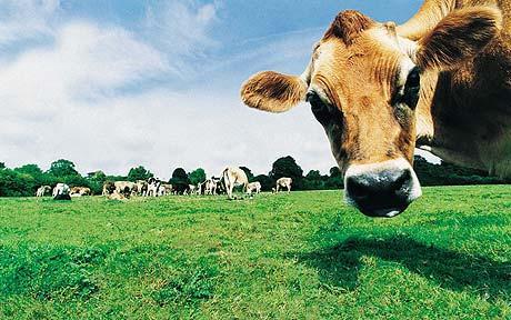 Studiu pentru stabilirea relaţiilor de prietenie între… vaci